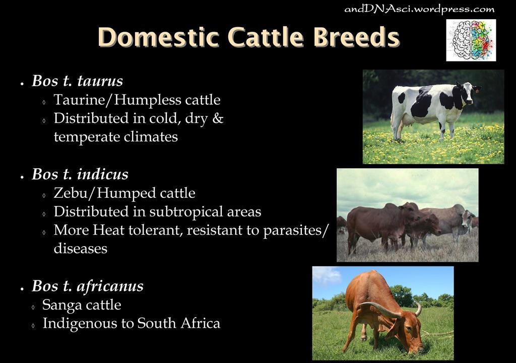 Domestic Cattle Breeds andDNAsci.wordpress.com Tanzelle Oberholster