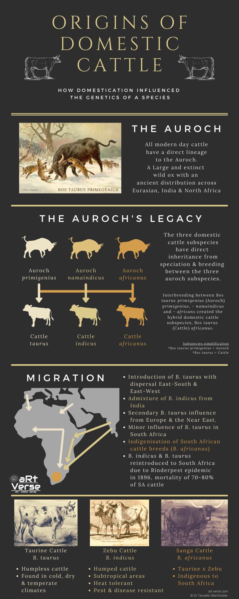 Domestic Origin of Cattle, Tanzelle Oberholster, aRtVerse, art-verse.com, cave painting, popular science article, infographic, genetics, migration, domestication, auroch, taurine, zebu, sanga, cattle, taurus, indicus, africanus