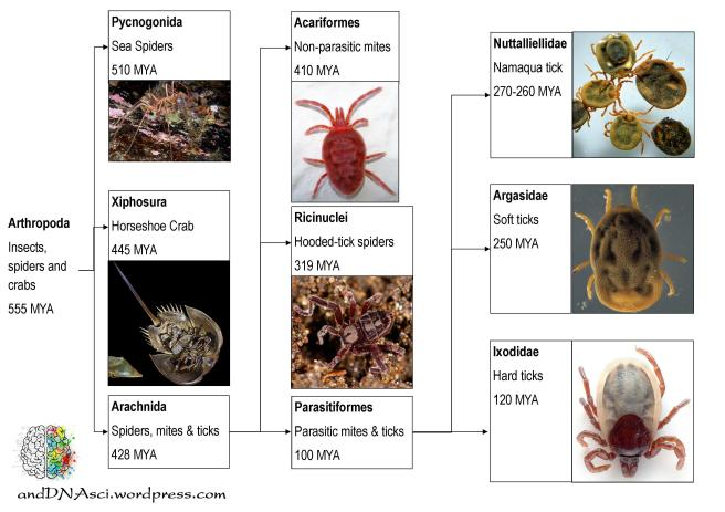 tick fossil record, arthropoda, pycnogonida, Xiphosura, arachnida, acariformes, parasitiformes, ricinuclei, Nuttalliellidae, Argasidae, Ixodidae