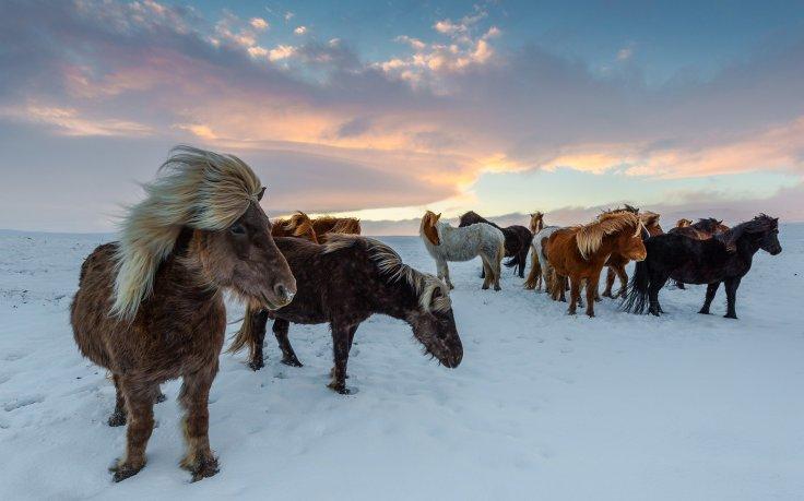 Iceland Horses, winter
