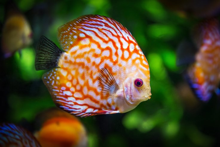 Discus Fish, tropical, aquarium, tank