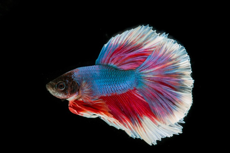 Siamese Fighting Fish, display