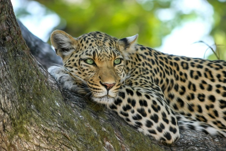 leopard, lie, rest, tree