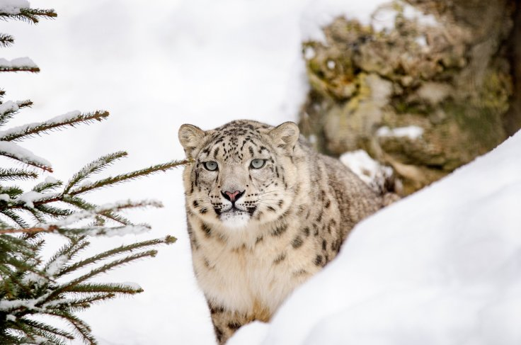 Snow Leopard, snow, forest, look