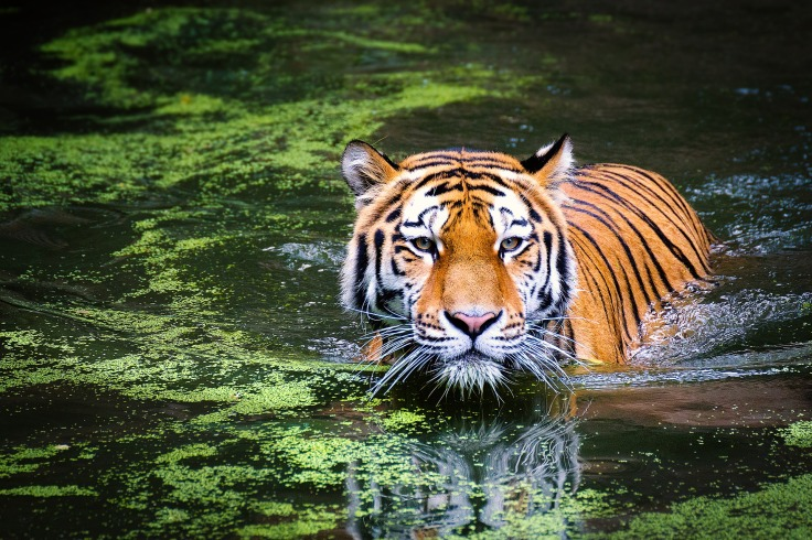 Tiger, swim, water, river, pond