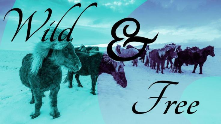 Wild, Free, Icelandic Horses, Poster, Graphic Design, Duotone Effect, Tupography, Inspiration, Blue, Purple