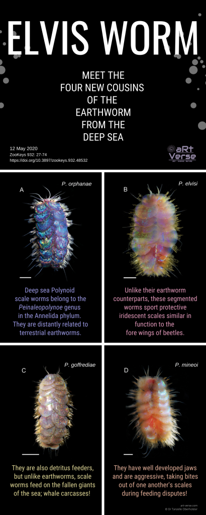 Elvis Worm, Scale Worms, aRtVerse, Tanzelle Oberholster, polynoid, Annelida, Peinaleopolynoe, photos, infographic, deep sea, biology