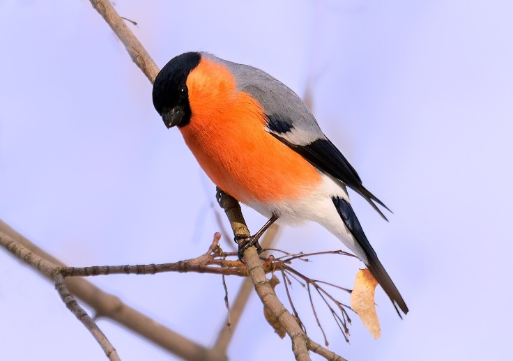 Bright Orange Bullfinch