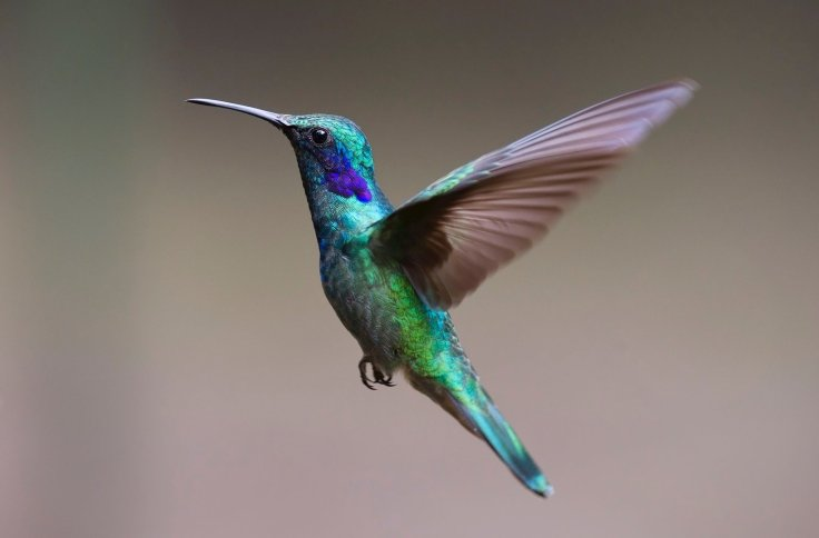 Flying Hovering Humming Bird