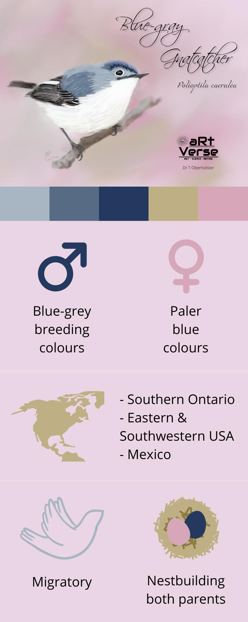 Blue-gray Gnatcatcher, Polioptila caerulea, bird, songbird, ontario, united states, mexico, ink, painted, art, digital, male, female, colours, geographical distribution, migratory, nestbuilding, colour palette